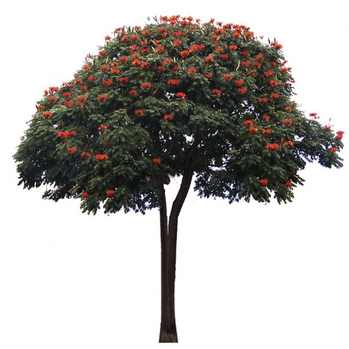 Дерево рябины картинка для детей на прозрачном фоне